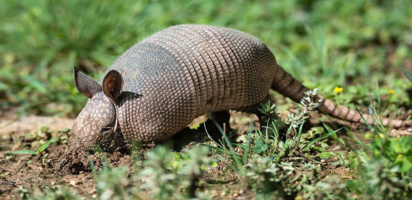 Armadillo Removal services