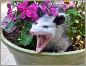 opossum removal
